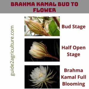 Brahma Kamalam bud to Flower