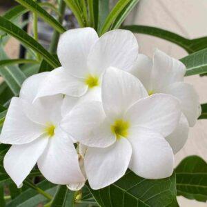 Champa Flower, Plumeria