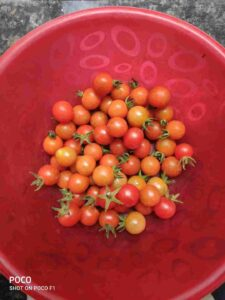 Homegrown Tomatoes Harvest