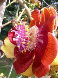 Nagalinga Flower, Cannonball Tree