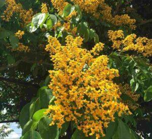 Narra Tree Flowers