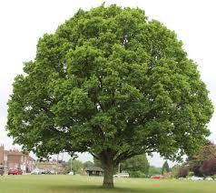Narra Tree