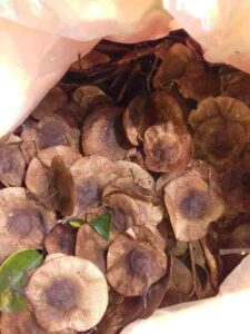 Narra Tree Fruits