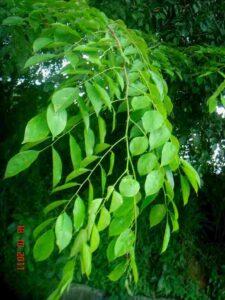 Narra Tree Leaves