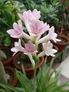 Pink Rajnigandha Flower