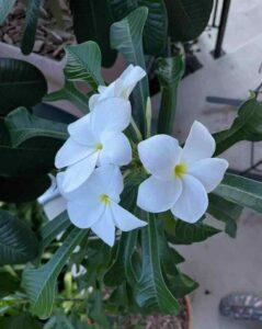 Plumeria Pudica, Nag Champa