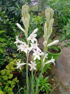 Rajnigandha flower
