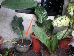 Wave Of Love Plant, Anthurium