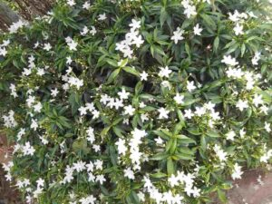 Chandni Flower Plant