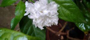 Double Chandni Flower