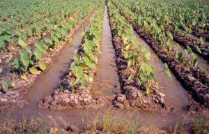 Furrow Method Of Irrigation