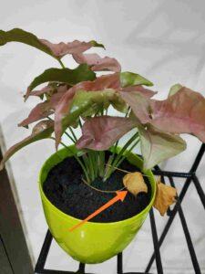 Syngonium Leaves Drying