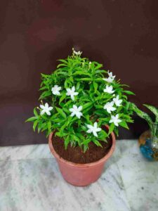 Miniature Chandni Flower Plant