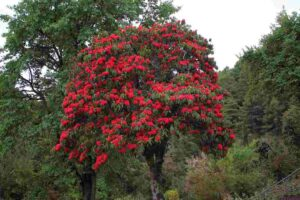 National Flower Of Nepal Rhododendron