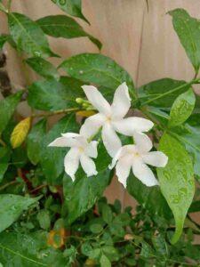 Single Chandni Flower