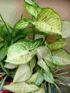 Syngonium Pink: Plant Care And Propagation