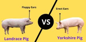 Difference between Yorkshire and Landrace