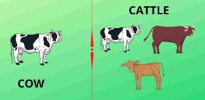 difference between cattle and cow, cattle vs cow